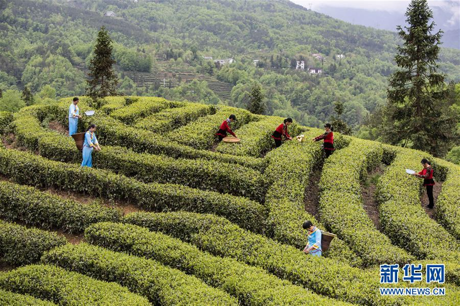 (春季美丽生态)(2)湖北五峰:茶乡生态美