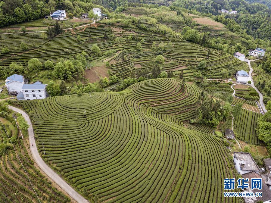 (春季美丽生态)(3)湖北五峰:茶乡生态美