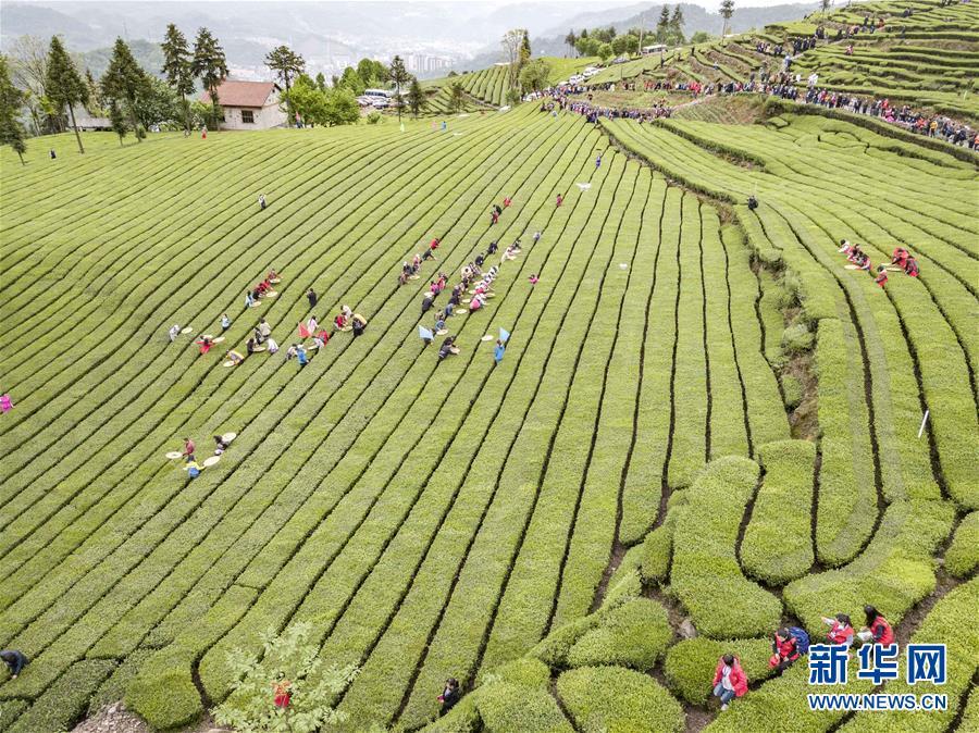 (春季美丽生态)(4)湖北五峰:茶乡生态美