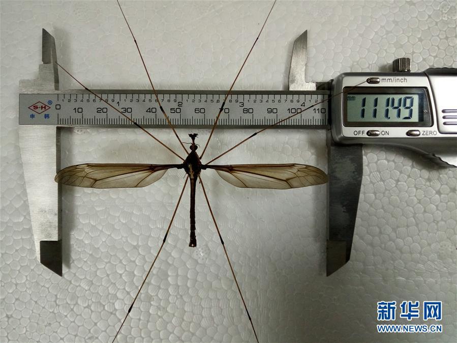 """(图文互动)(2)翅展11厘米 成都青城山现""""巨无霸""""蚊子刷新世界记录"""