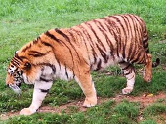 桂林发生老虎伤人事件 1名饲养员被咬死(图)