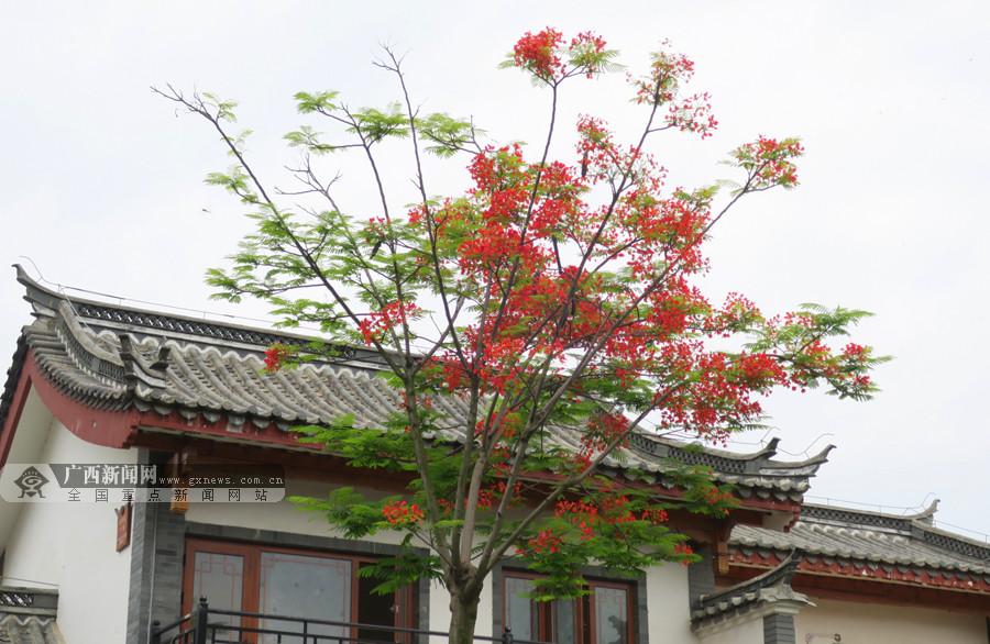 田阳:夏日凤凰花开满城红 亮丽风景醉人(组图)