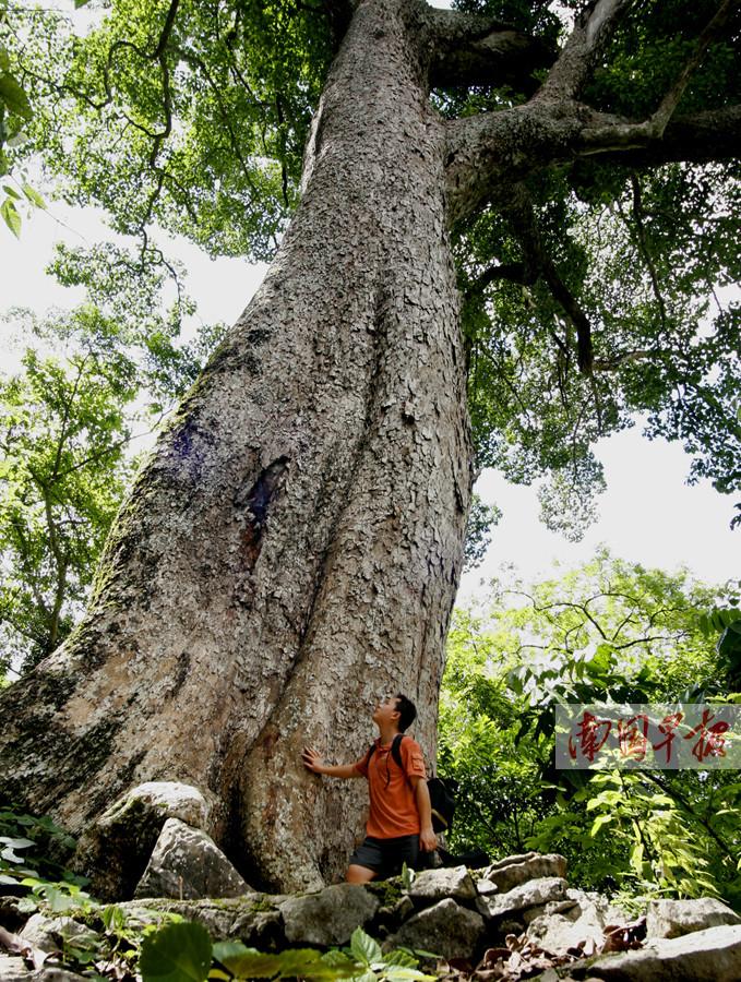 龙州这棵蚬木入选中国最美古树 树龄超2300年(图)