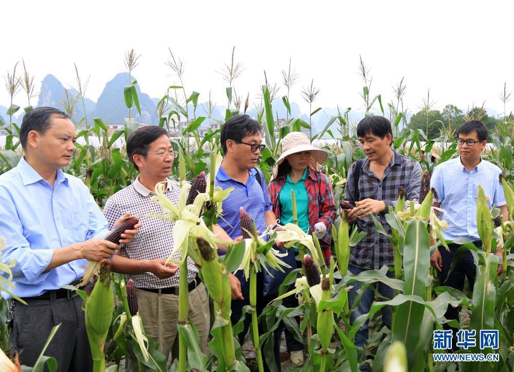 北京赛车pk10开奖直播:广西育成的黑糯玉米品种在都安示范成功