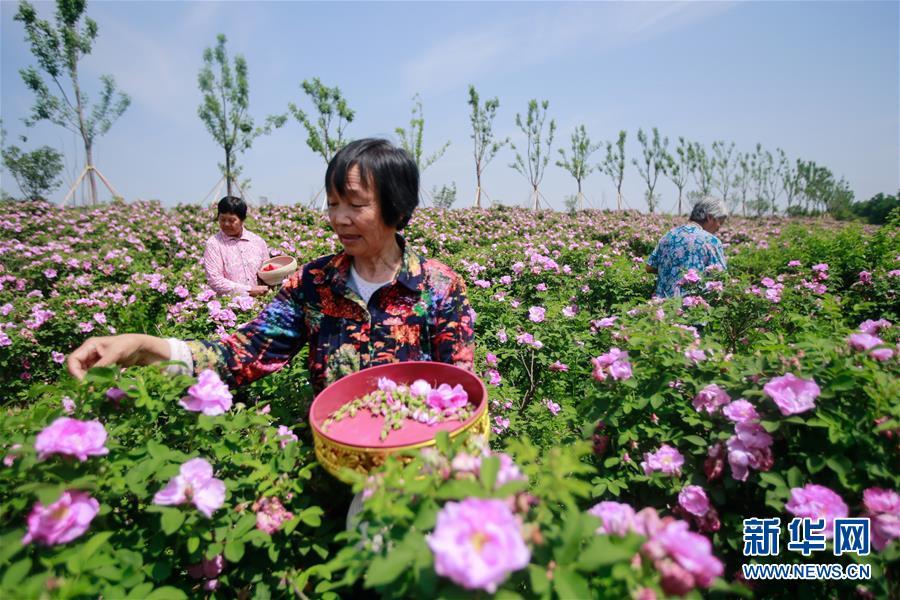 (经济)(2)山东淄博:玫瑰香溢乡村振兴路