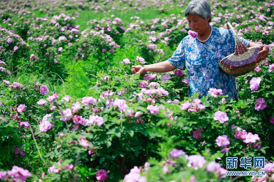 (经济)(4)山东淄博:玫瑰香溢乡村振兴路