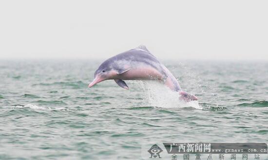 """钦州为保护白海豚划出了一道""""生命线""""(组图)"""