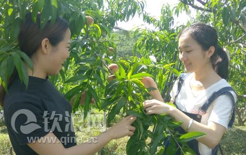 钦南区台湾农民创业园台果休闲果场 游客高兴地采摘