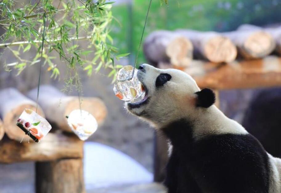 """炎炎夏日 广州大熊猫消暑有""""凉""""方"""