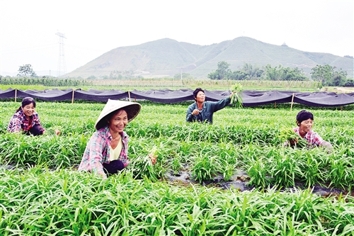 上林县:无公害蔬菜助贫困户脱贫