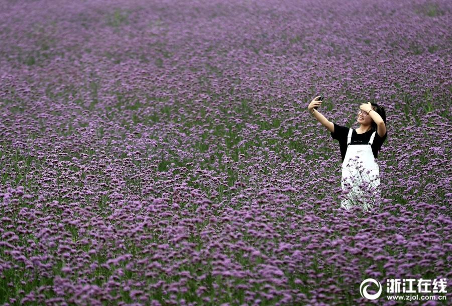 快3走势图今天:那一片紫色的花海
