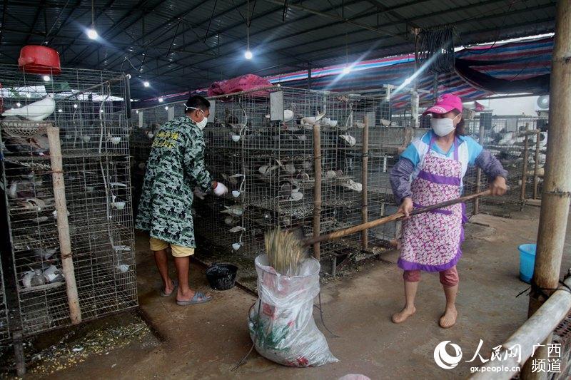 6月3日,宁明县海渊镇福利皇鸽养殖专业合作社两名饲养员在给皇鸽进行精心喂食