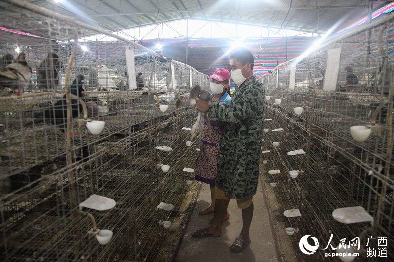 6月3日,宁明县海渊镇福利皇鸽养殖专业合作社两名饲养员在认真观察皇鸽生长情况