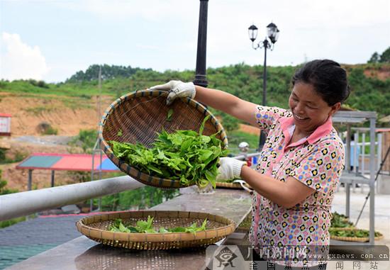 上思村民制茶忙 深山甜茶走出十万大山助农致富