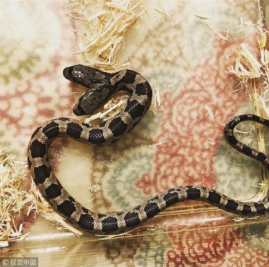 """罕见双头蛇成家庭宠物 拥有""""双重性格""""谁也不服谁"""