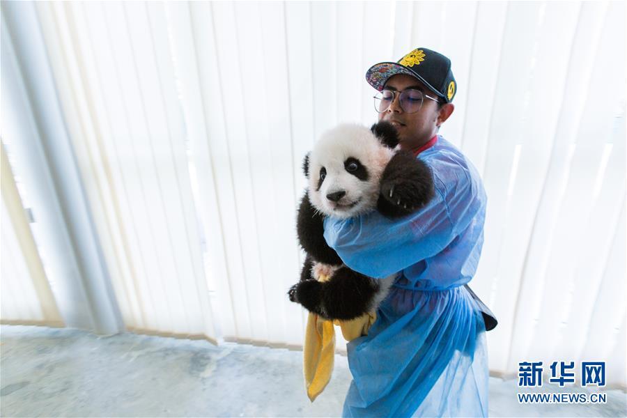 """(国际)(10)旅马大熊猫的马来西亚""""奶爸"""""""