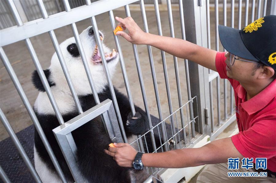 """(国际)(9)旅马大熊猫的马来西亚""""奶爸"""""""
