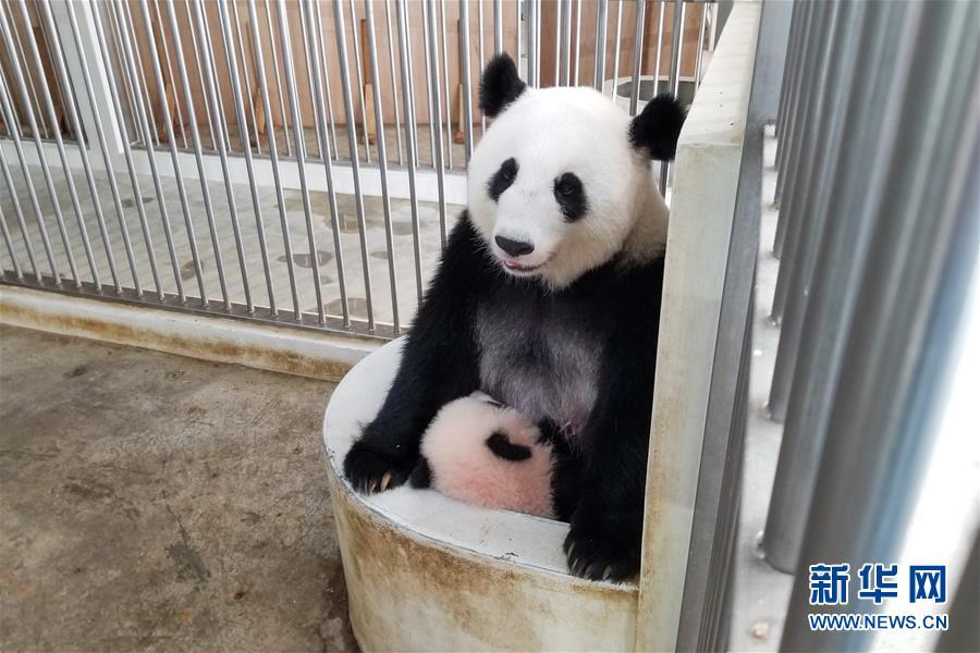 """(国际)(11)旅马大熊猫的马来西亚""""奶爸"""""""