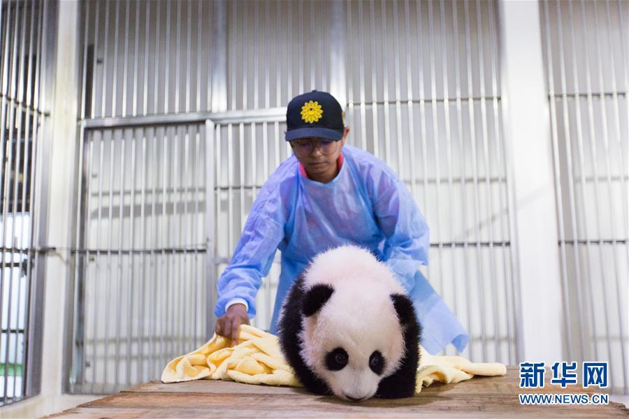 """(国际)(4)旅马大熊猫的马来西亚""""奶爸"""""""
