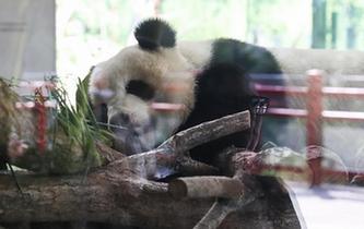 """柏林""""熊猫热"""""""