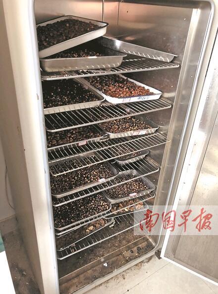 为留果核做实验 广西一高校课题组召集师生吃800斤荔枝