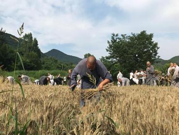 少林寺师傅教洋弟子割麦