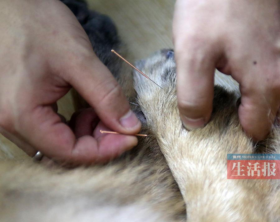 针灸拔罐也能给宠物治病 中兽医疗法渐萌芽(组图)