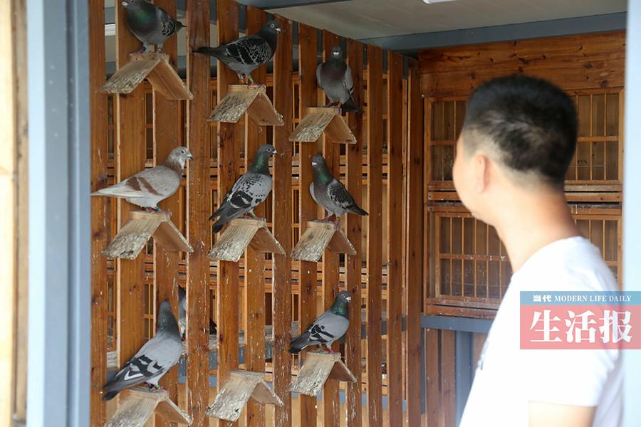 他的鸽子能从400公里外飞回巢 已赢十几万奖金(图)