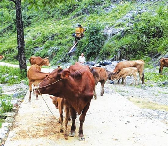 宝诚种养专业合作社养殖肉牛促农增收