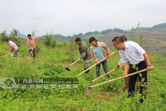 罗城推动油茶产业发展助推产业脱贫攻坚(图)