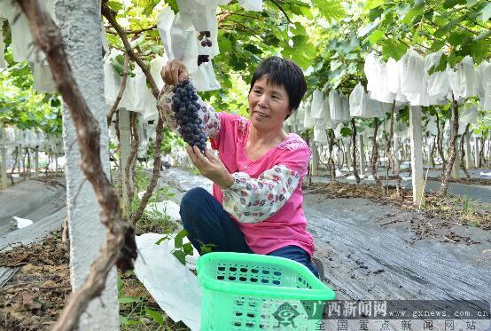 上思葡萄+旅游成农户致富新模式