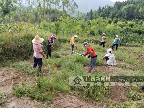 全州县蕉江瑶族乡:打造桂北最大中药材生产基地 助力脱贫攻坚