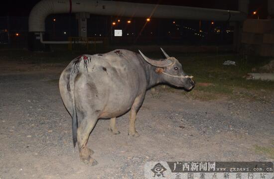 北海:远光灯又闯祸 这次遭殃的是头牛