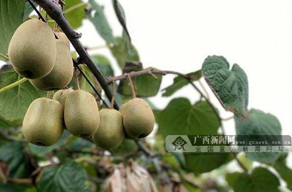 南丹:200多万斤红心猕猴桃上市 线上线下展销忙