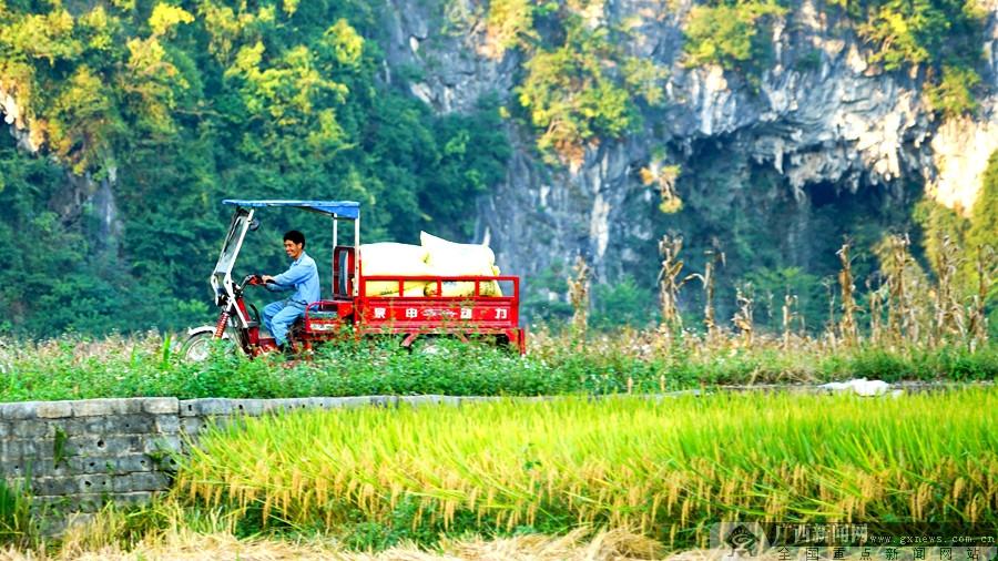 凌云:稻谷飘香喜丰收 农业机械来帮忙