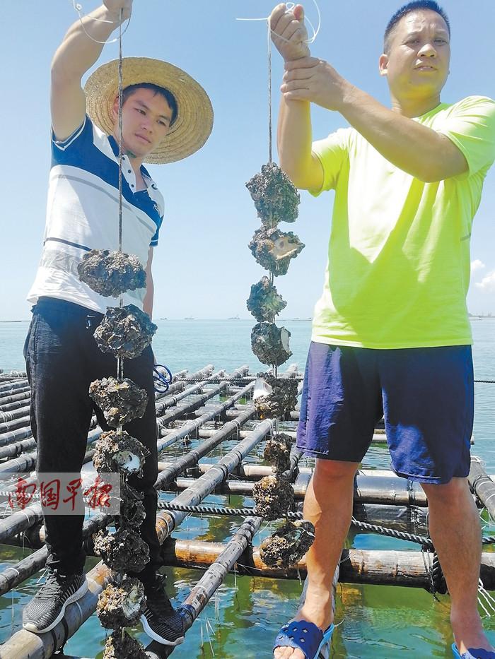 广西钦州大蚝大量死亡 养殖户怀疑海水受污染(图)