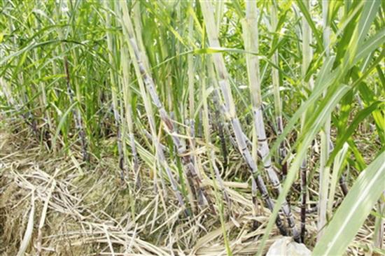"""共和乡发展甘蔗种植""""种出""""脱贫致富新路子"""