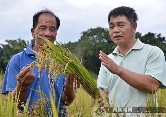 上思再生水稻长势喜人 农民增收有望
