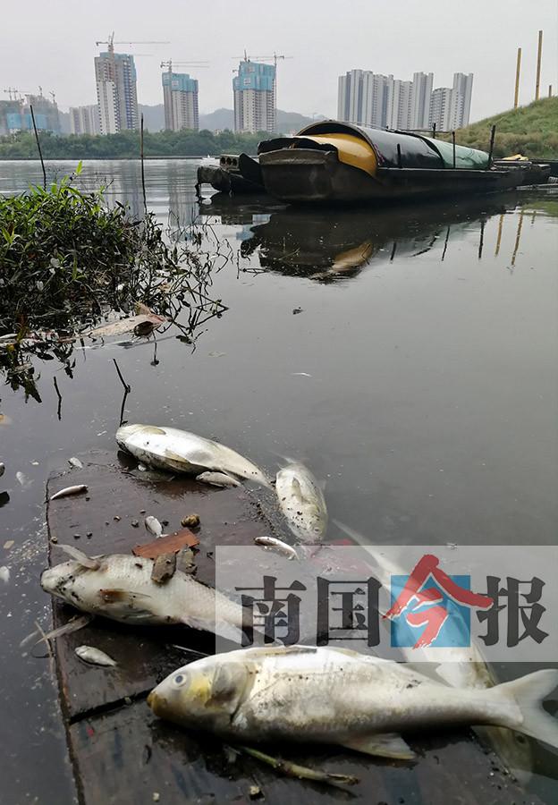 柳州回龙冲沟惊现大量死鱼 河水呈现出黑乌色(图)