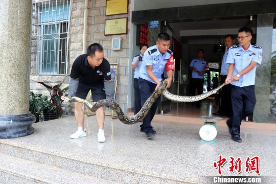 """5米长网纹蟒蛇悄悄进入居民家""""吃鸡""""-广西"""