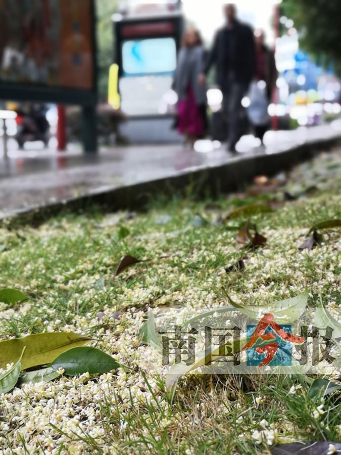 柳州:满城尽飘桂花香 今年为何来得迟(图)