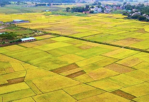 钦州秋收季节:广阔无垠的稻田 金色的田园美如画