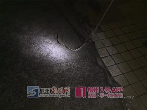 市民取电动车 竟在座包里发现一条红头眼镜蛇