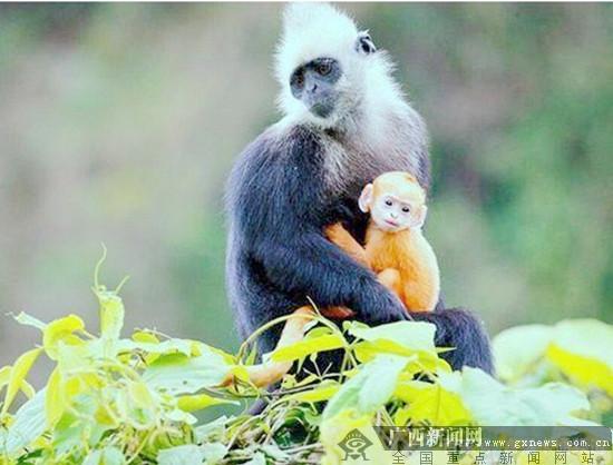 《白头叶猴之嘉猴壮壮》首播 献礼自治区60华诞