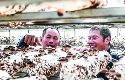 南源村将香菇种植与农业旅游结合发展助力脱贫攻坚