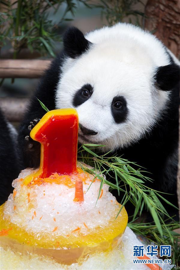 马来西亚为在马出生的第二只大熊猫宝宝庆生
