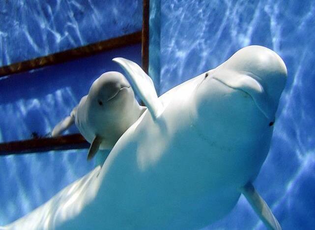 珠海长隆一次繁育成功三头小白鲸