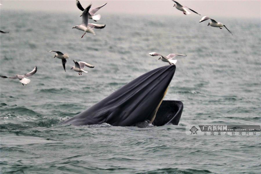 涠洲岛海域发现18头布氏鲸 海域食物链较健全(图)