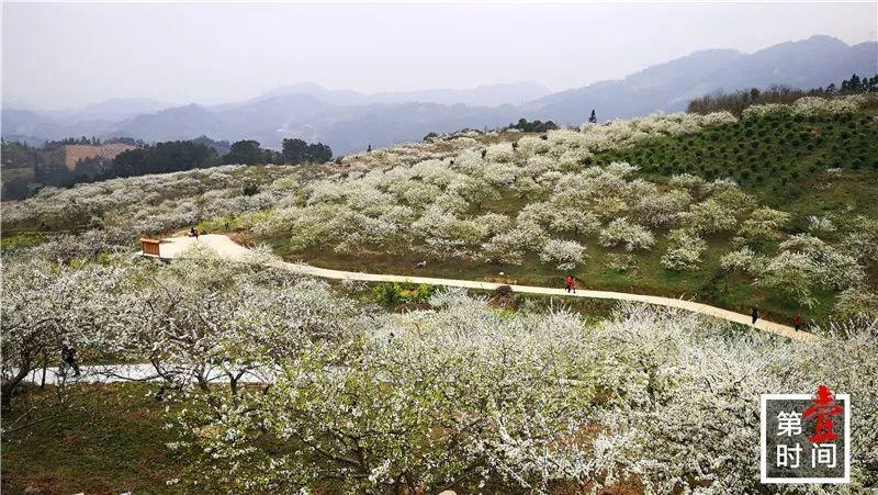 """荔浦这凯3000亩李花盛放 群山覆""""雪""""美如仙境"""