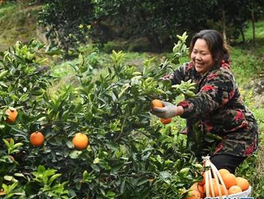 重庆奉节:脐橙种植促农增收
